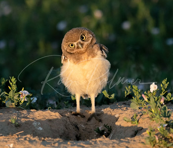 Early morning owlet