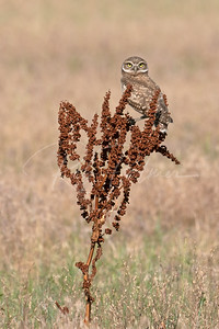 Young Burrowing owl on a curly doc plant