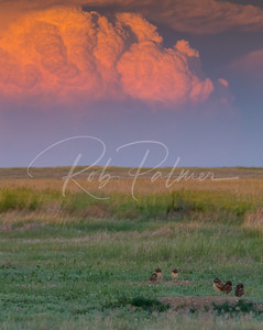 Burrowing Owl Sunset