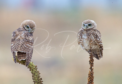 Two young burrowing owls