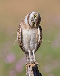 Curious Burrowing Owlet