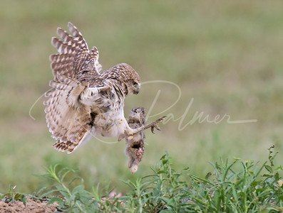 Burrowing Owl landing with a young rabbit