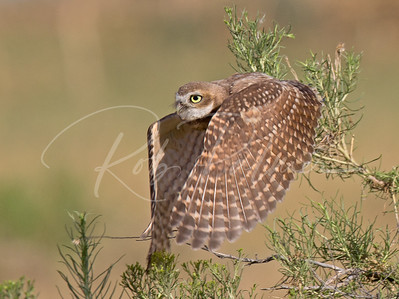 Young Burrowing Owl taking off
