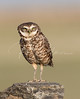 Burrowing Owl on an unusual perch