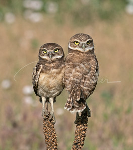A couple young owls