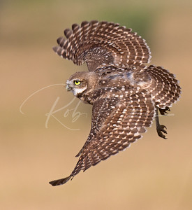 Fledgling Burrowing Owl in flight