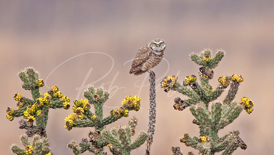 Burrowing Owl on a Cholla Cactus