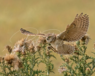 Owl on the attack