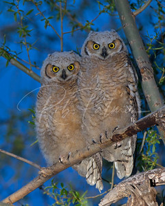 Two owlets just after sunset.