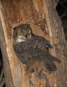 Great Horned Owl Female at nest with month old chick.