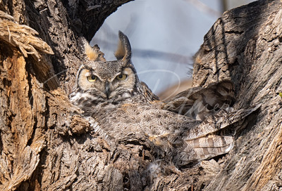 Owl on a nest in the crotch of a tree