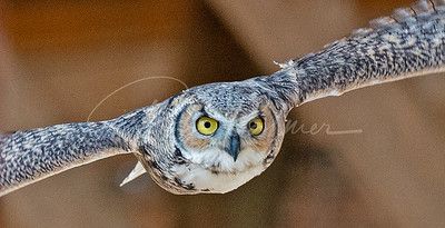 Great Horned Owl in a barn