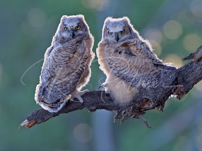 A pair of backlit owlets.