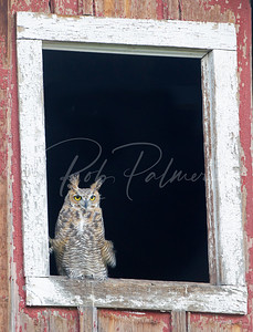 Great Horned Owl and Barn Window