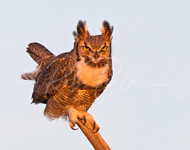 Great Horned Owl in mating posture.