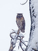 Owl in a snowstorm