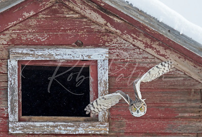 Great Horned Owl leaving barn