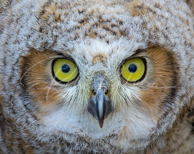 Young Owl Closeup