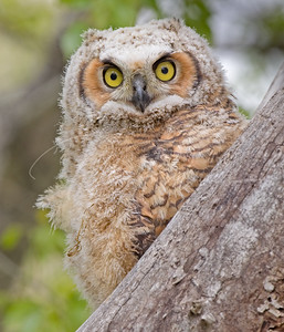 Just fledged Great Horned Owlet
