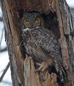 Female Great Horned Owl in nest.