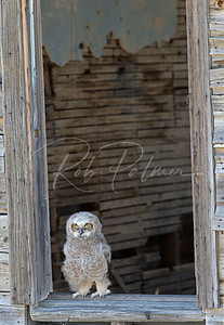 Lonely Owlet