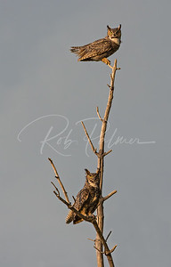 A pair of Great Horned Owls