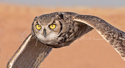 Great Horned Owl, Closeup flight image