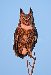 Great Horned Owl mating posture