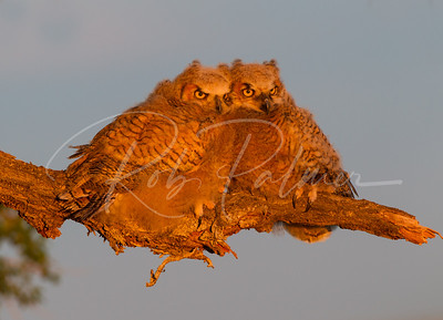 A pair of owlets just before sunset.