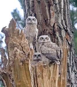 Great Horned Owl Fledglings
