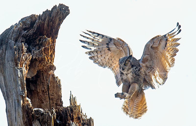 Great Horned Owl landing at nest site