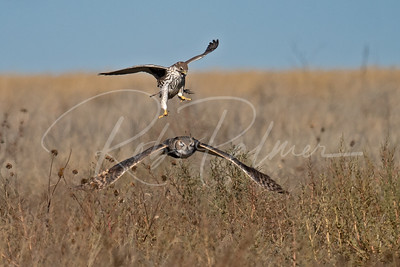 Prairie Falcon attacking a Great Horned Owl