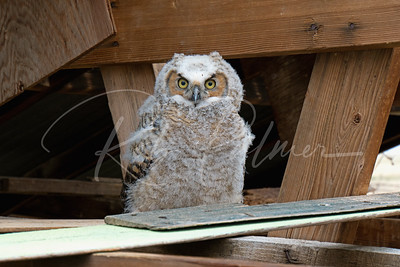Young Great Horned Owl in old barn
