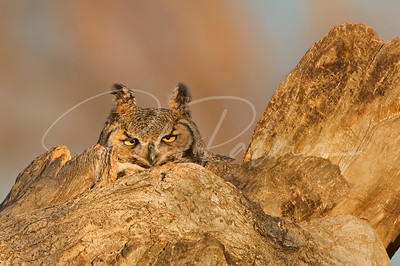 Great Horned owl sitting tight on her nest