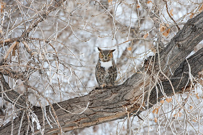 Great Horned Owl on a snowy day