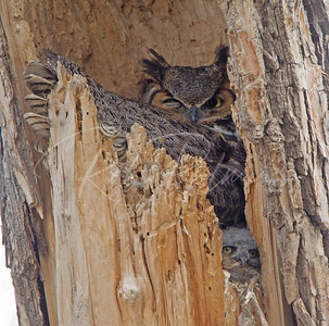 Mother Great Horned Owl and owlet (look in the lower right)