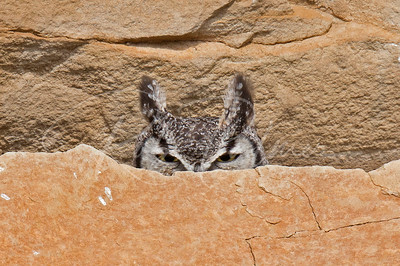 Great Horned Owl behind the rocks