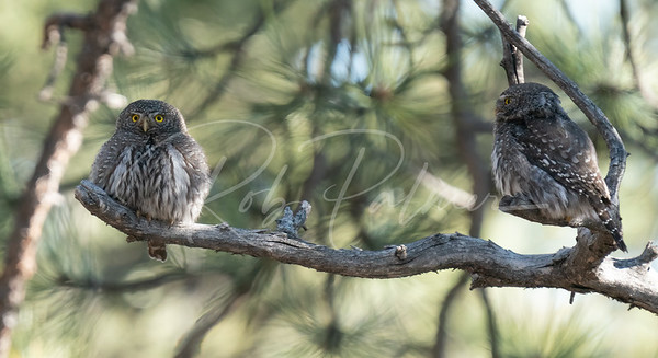 A pair of northern pygmy owls
