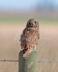 Short Eared Owl taking a look