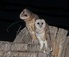 Two young barn owls