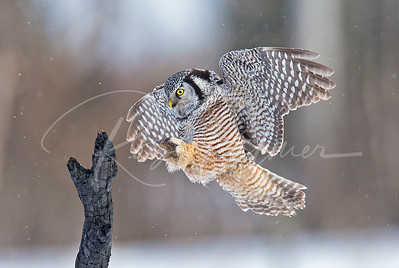 Hawk Owl landing on burnt branch