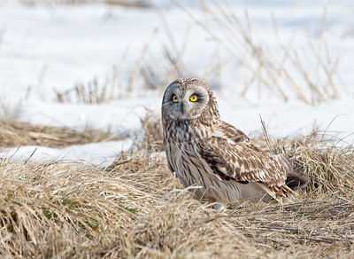 Short Eared Owl in the grass