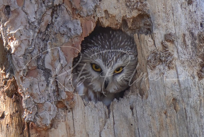 Saw-whet Owl peeking out of the nest hole