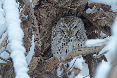 Screech Owl weathering the storm