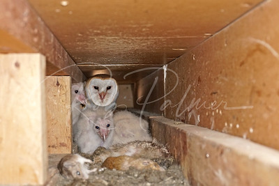 Barn Owl nesting in old ventilation shaft of abandoned house
