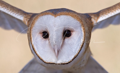 In-flight closeup of a young Barn Owl