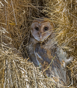 Young Barn Owl in a haystack.