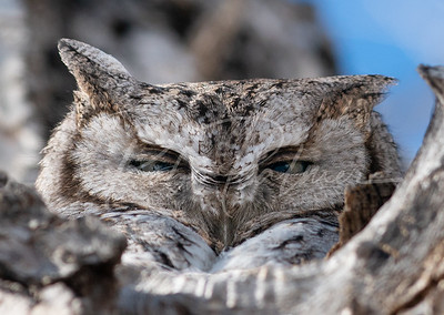 Screech Owl peering out of his hole