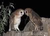 Two young barn Owls contemplating life