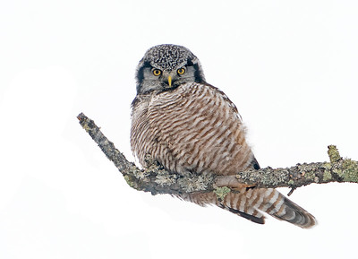 Hawk Owl giving me the look.